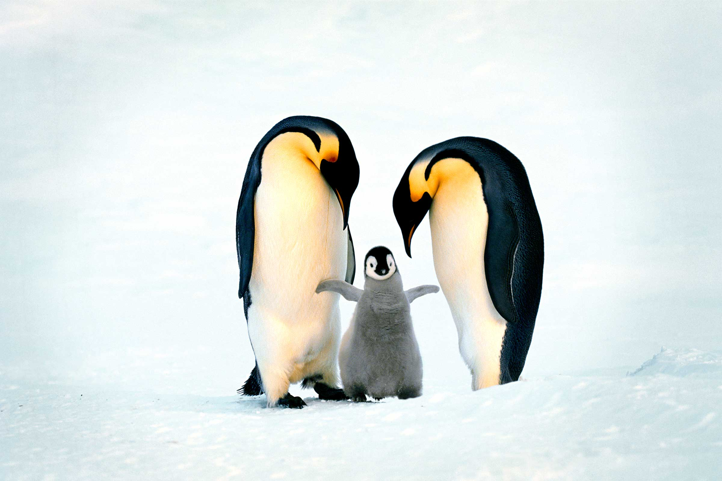Read more about the article Penguin Dads! Do You Know Them? I Will Tell You The Secret!