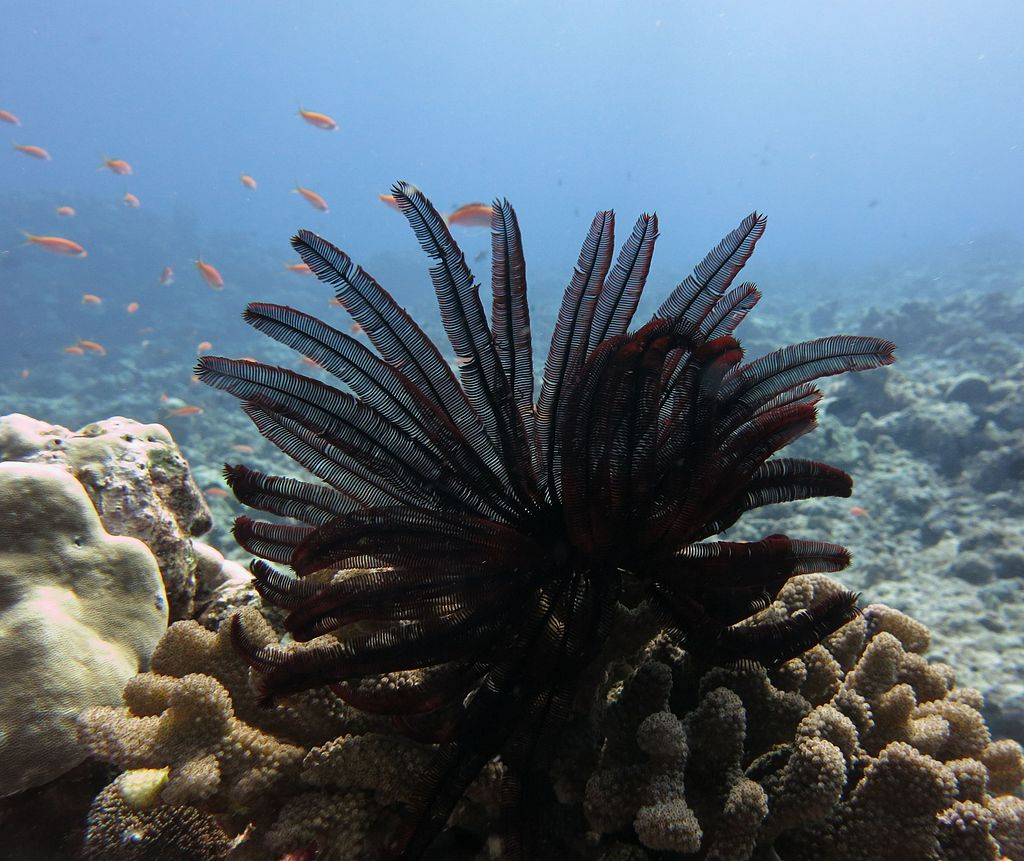 Feather_star_coral_reef