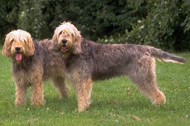 otterhounds.jpg